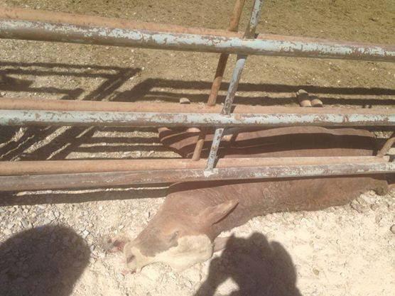 Bundys dead-cattle