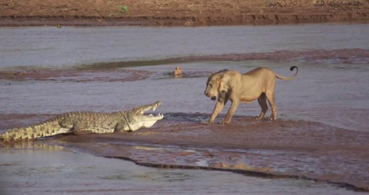 Lion Vs. Crocodile1