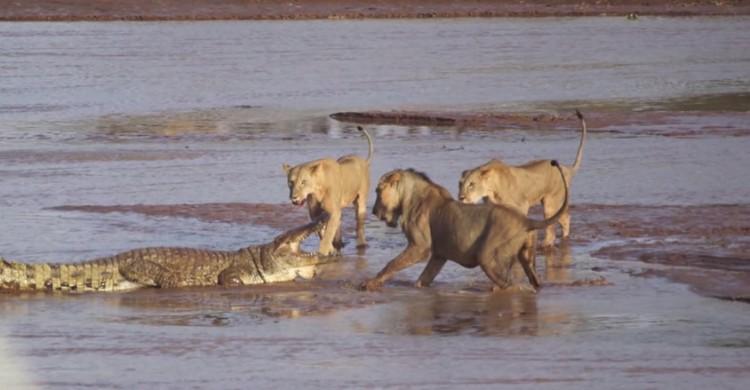 Lions v Croc 5