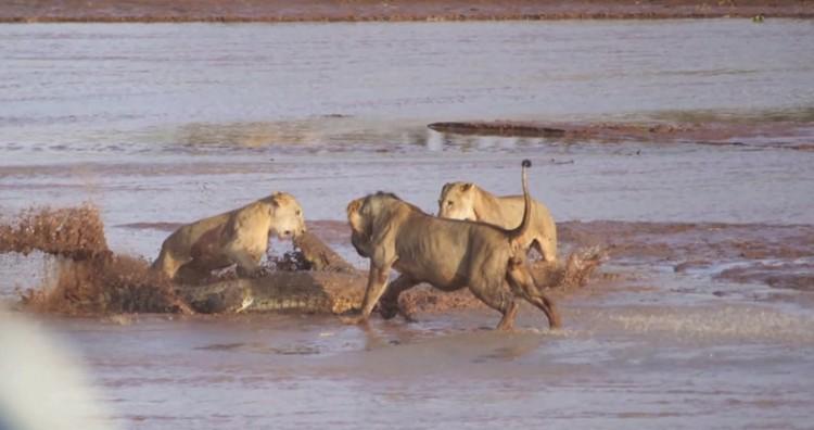 Lions v. Croc 6