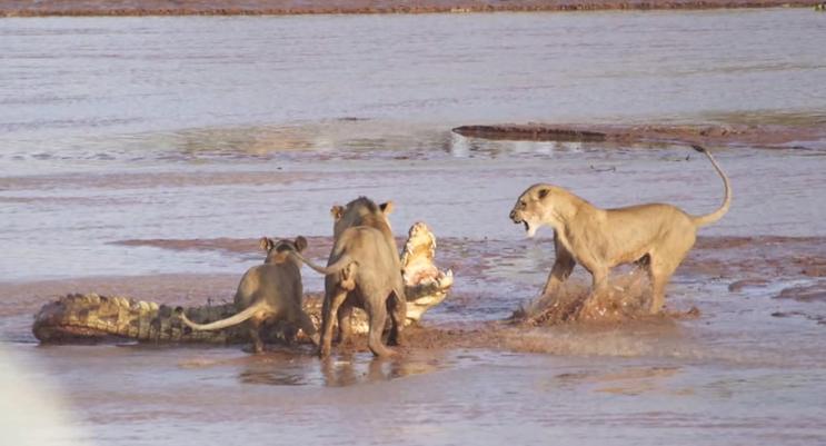 Lions v. Croc 7