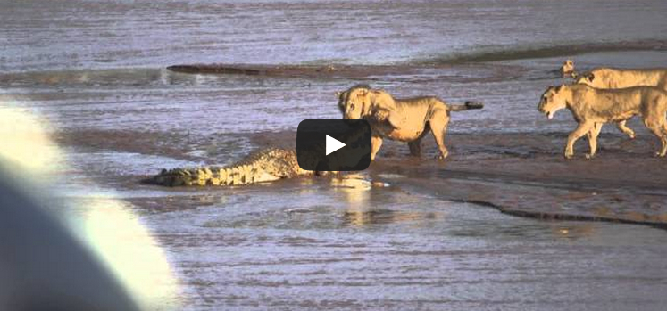 Lions v. Crocodile Play Button