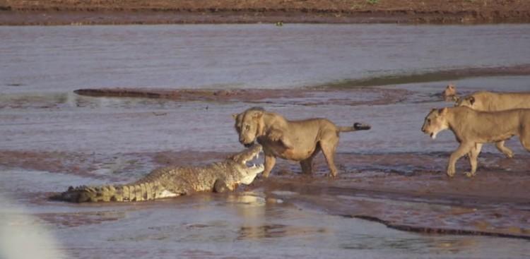 Lions vs. Croc