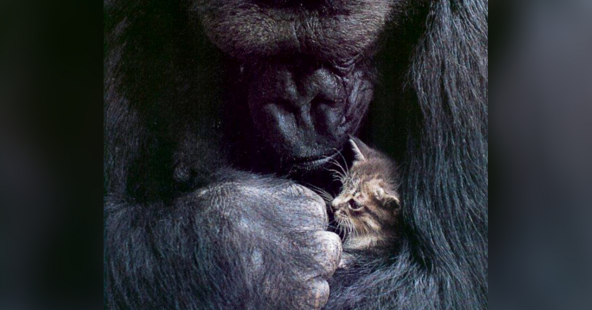 Koko the Gorilla Who Mastered Sign Language Dies at 46