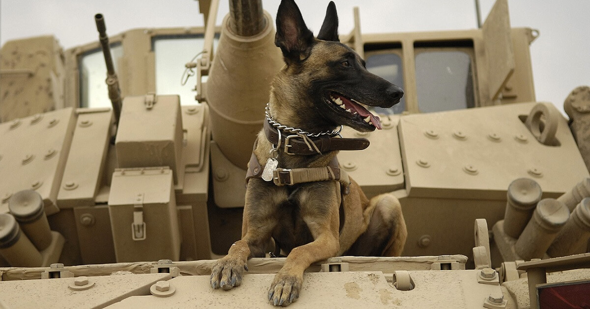 The Belgian Malinois is a breed whose native strength and intelligence make it ideal for military work.