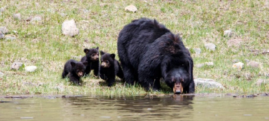 Bear with three cubs by riverside.