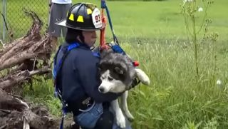 Firefighter in harness holding a husky.