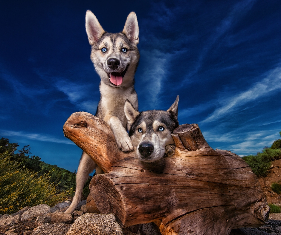 Dogs Jax and Sora Pose for Dog Breath Photography