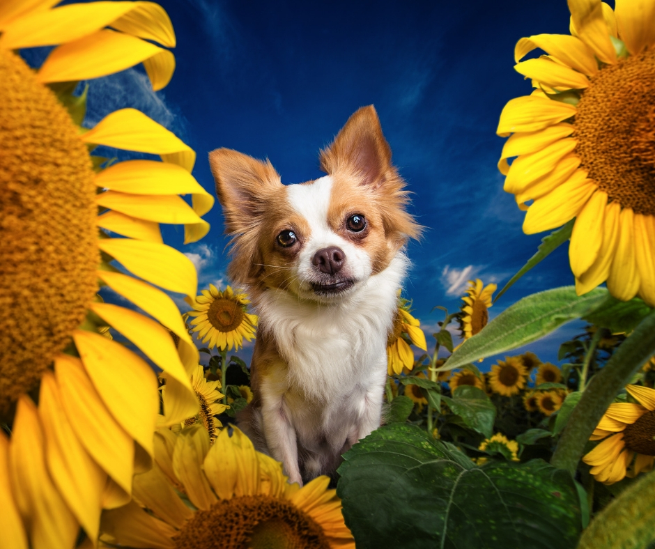 PJ in the Sunflowers. Courtesy of Dog Breath Photography & Nat Geo WILD's new show 'Pupparazzi'