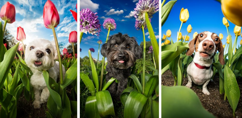 Three dogs in flowers, photo by Dog Breath Photography