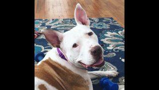 Marilla, a white and brown pitbull.