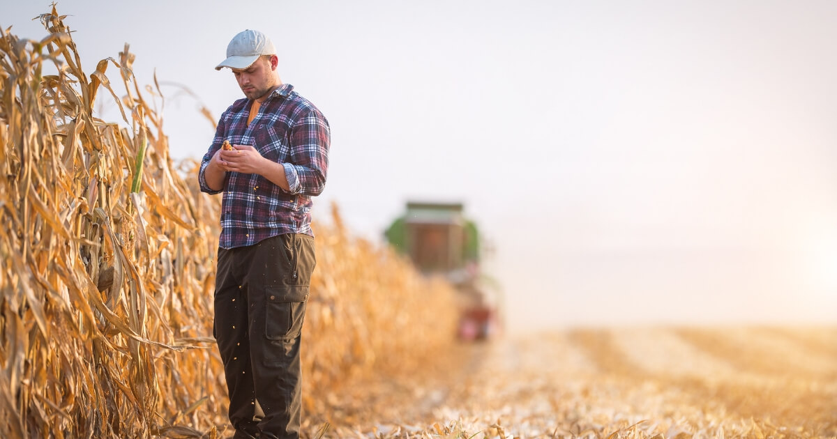 farmer examines corn stalks