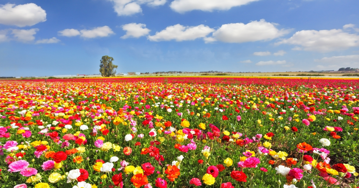 The boundless field, blooming colorful garden buttercups.