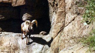 A desert bighorn ram stares at a camera in Arizona's Cabeza Prieta National Wildlife Refuge.
