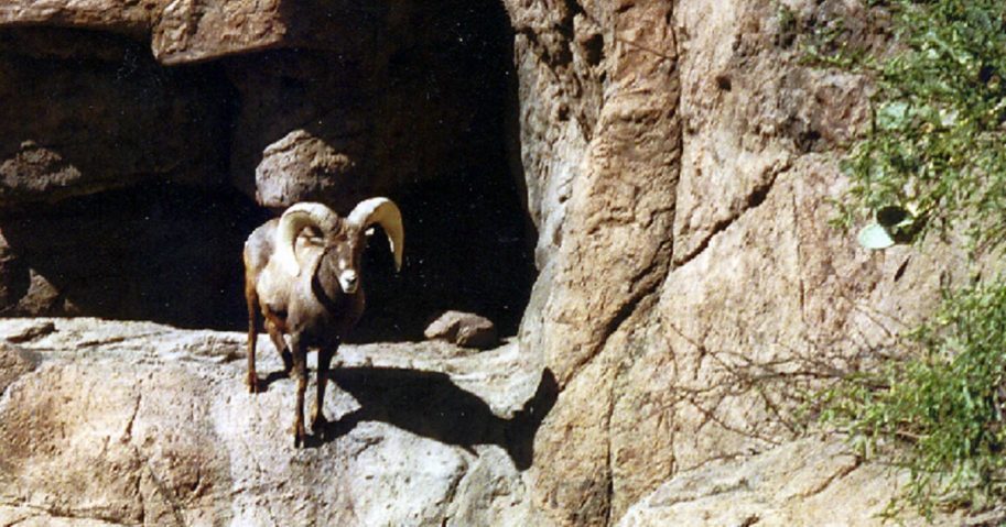A desert bighorn ram stares at a camera in Arizona's Cabeza Prieta National Wildlife Refuge.