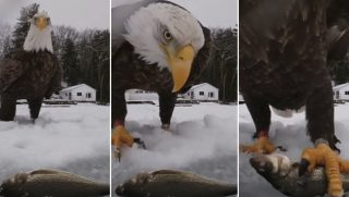 Eagle grabs fish