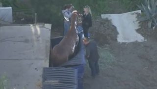 Horse standing in a dumpster