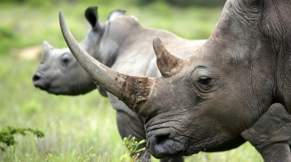 A close-up picture of a female rhinoceros and her calf.