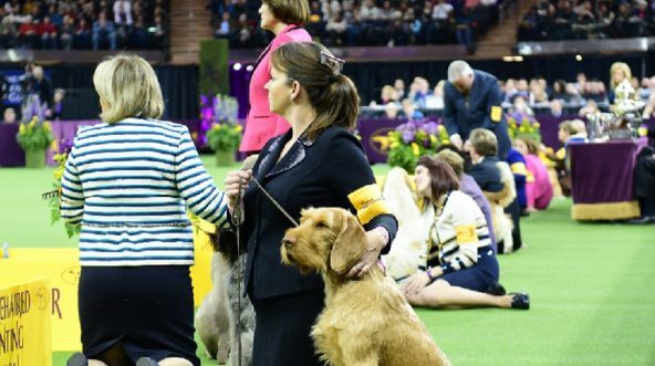 Dogs lined up at the Westminster Dog Show.