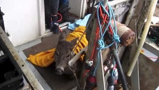 Rescued deer on a boat.