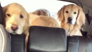 Three dogs in the backseat of a car.