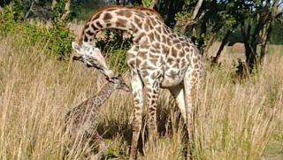 Baby and mother giraffes
