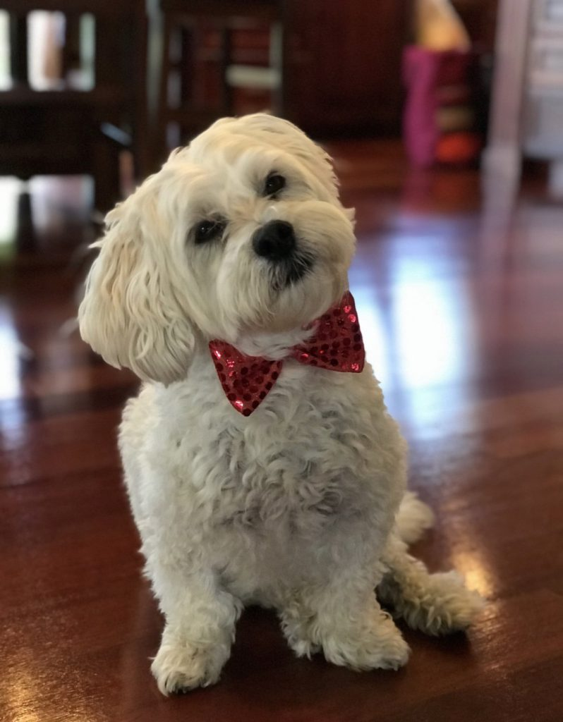 Lucky, the 11-year-old lhasachon, looking dapper in a sequined red bow tie.