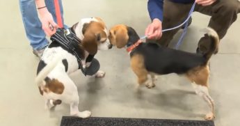 Two beagles reunited after weeks apart.