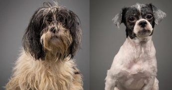 Before and after pictures of a dog being groomed.