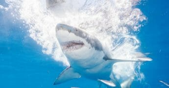 Great white sharks seasonally gather off the coast of Guadalupe Island; divers dive inside cages off the boat Nautilus Explorer in order to safely swim with the sharks on September 15, 2016, 150 miles off the coast of Mexico.