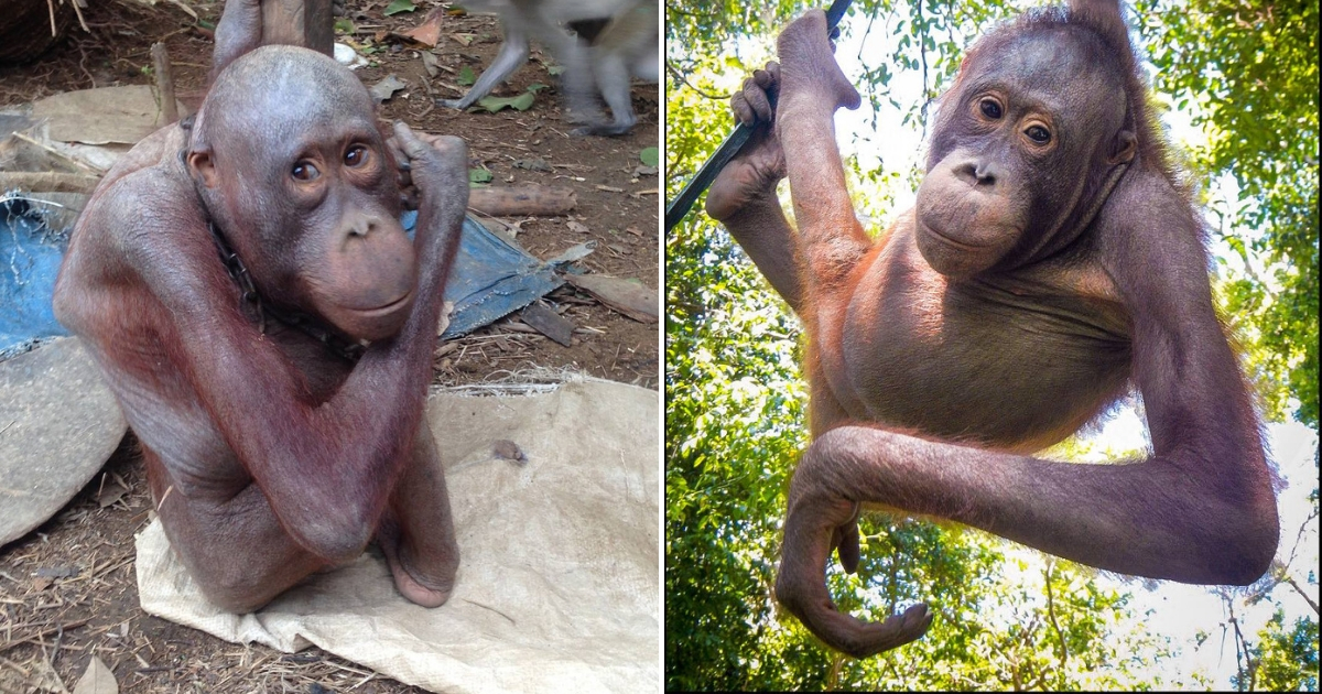 Sad Orangutan Loses His Hair Due to Starvation, Rescuers Give Him Life He Always Deserved