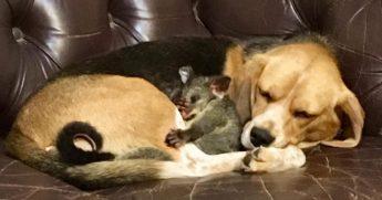 Dog cuddles with possum