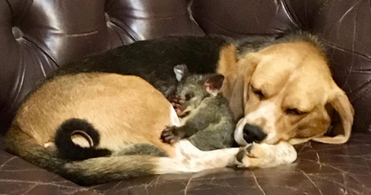 Dog 'Adopts' Baby Possum After Her Litter of Puppies Passes Away
