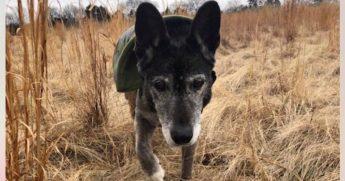 A senior dog in a field.