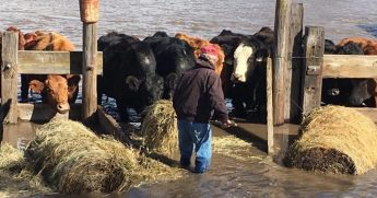 Rancher helping his cattle in a flood.