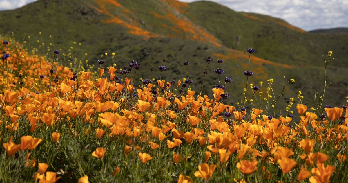 Poppies and other wildflowers bloom on the hills of Walker Canyon in Lake Elsinore, California, on March 8, 2019.