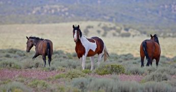 Wild horses roam free on state and some private land, outside federal disengaged horse management areas on May 31, 2017 outside Milford, Utah.