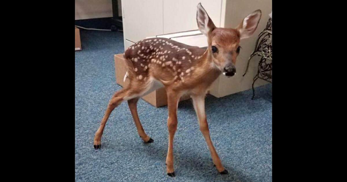 Baby deer standing