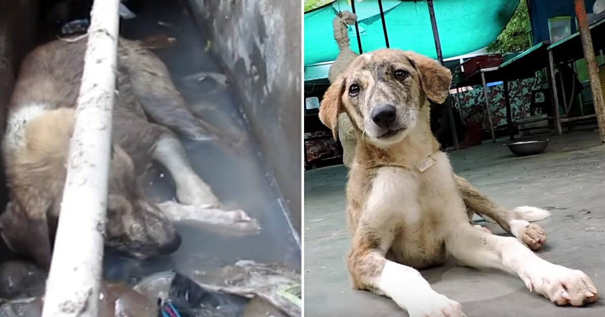 Dog in Gutter Rescue