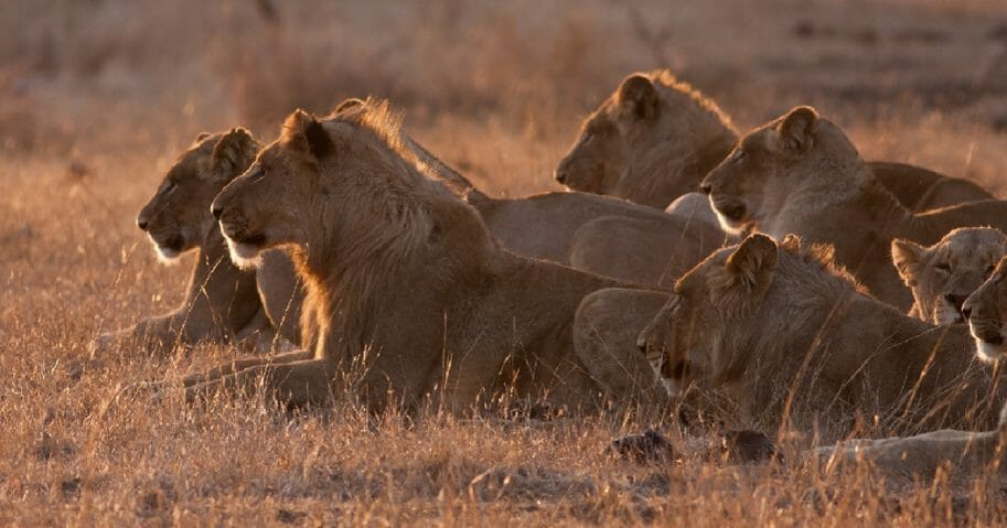 A pride of lions is pictured in a file photo from Kruger National Park in South Africa