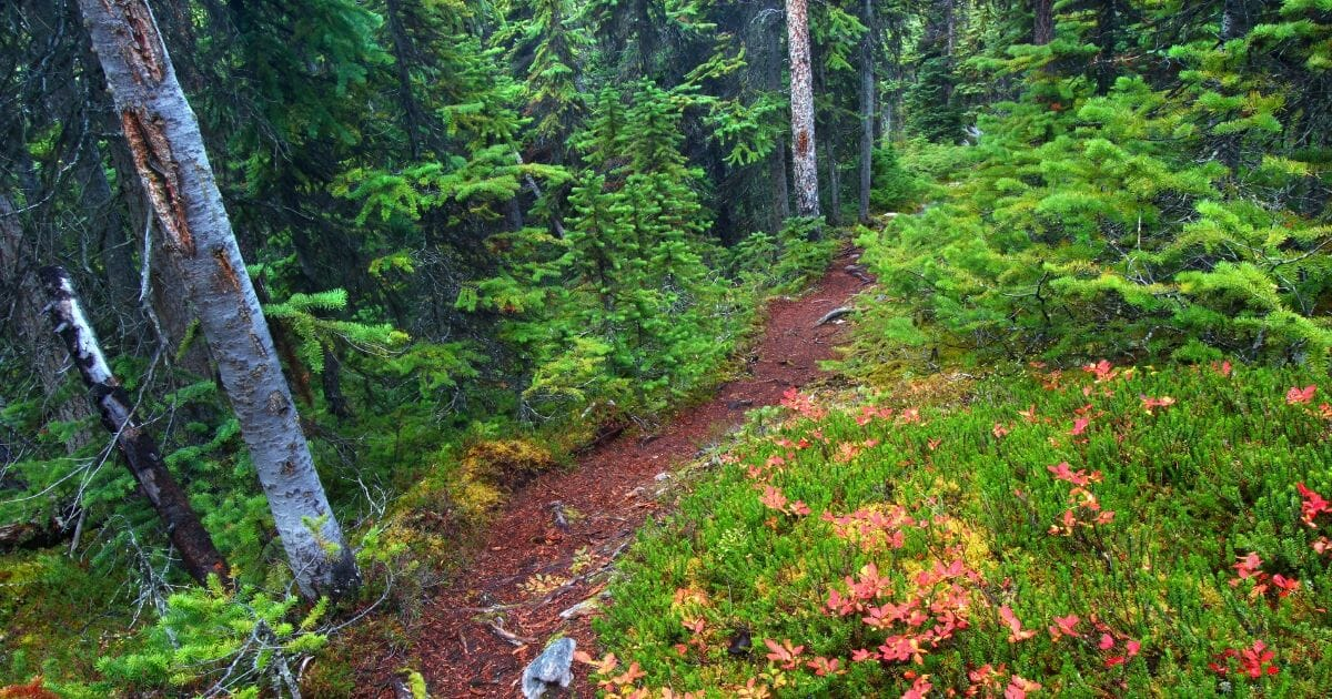 Foot path through dense forests of Jasper National Park in Canada.