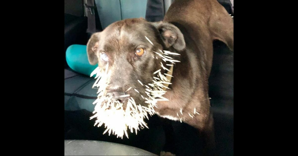 Starving Dog Quilled by Porcupine Finds New Home After Kindhearted Woman Pays Vet Bill