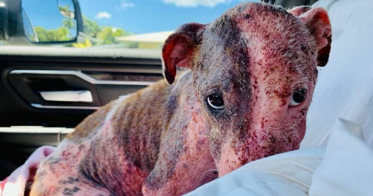 Sunburnt and abused doggo