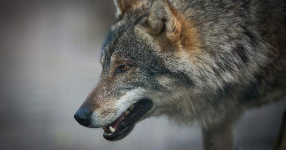 A gray wolf snarls.