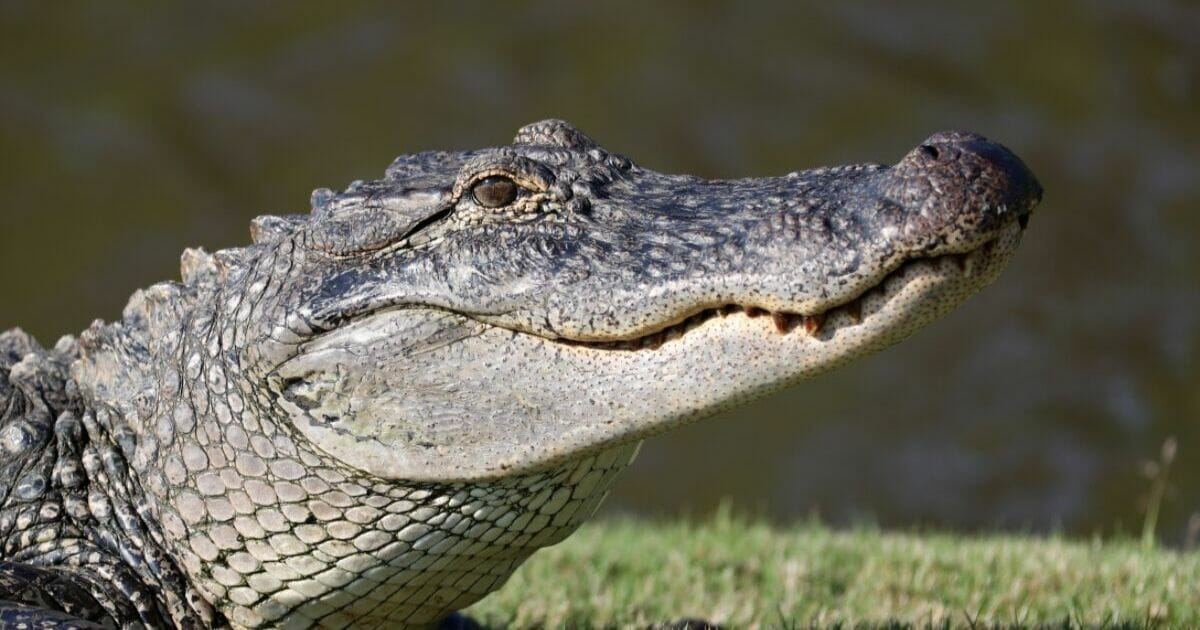 A Tennessee police department has issued a warning mentioning methed-up alligators