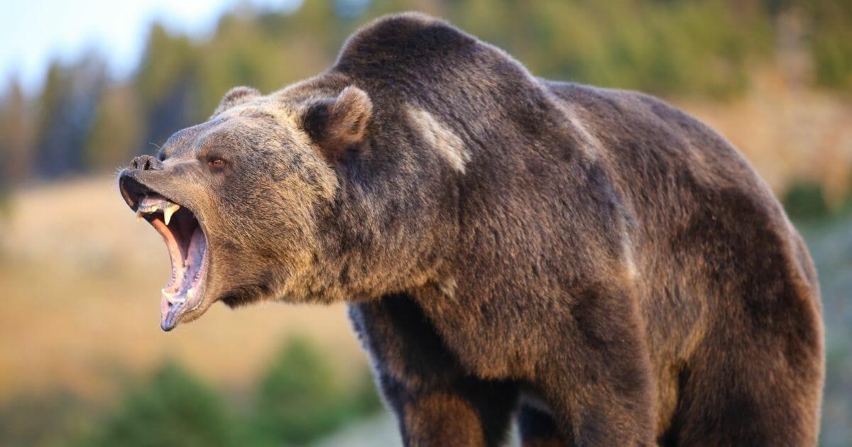 North American brown bear growling.