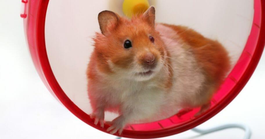 A hamster on a wheel.