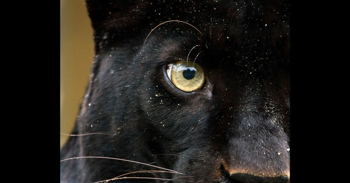 """A stock photo of a panther can be seen above. An Abilene, Texas resident says one of her family members captured a large black cat on video, which many believe to be a """"black panther,"""" though others aren't so sure."""