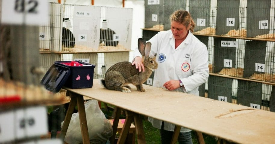 Diane Davis from South Shields brushes her Giant Continental rabbits during Rosedale Show on Aug. 18, 2018 in Kirkbymoorside, England.