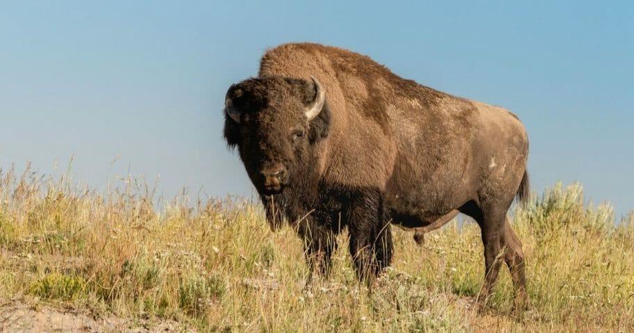 A male bison at Hayden Valley in Yellowstone National Park, Wyoming.
